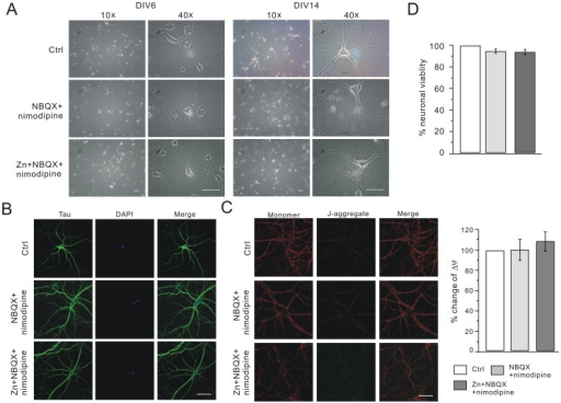 NBQX+nimodipine prevent cell death in chronic zinc expo | Open-i