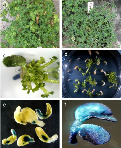 Western clover (T. occidentale), shoot regeneration and transformation. (a) white clover (T. repens); compared to (b)T. occidentale(c) prolific regeneration of shoots from an AZ4270 cotyledon following three weeks culture on 1C; (d) shoot regeneration under ammonium glufosinate selection following Agrobacterium-mediated transformation of cotyledon explants; (e) transient GUS expression on cotyledonary explants three days after inoculation with Agrobacterium broth; (f) GUS activity in a trifoliate leaf excised from stably transformed plants approximately eight weeks after transformation.