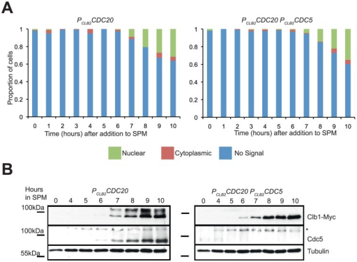 Cdc5 is required for phosphorylation, but not nuclear localisation, of Clb1 during meiosis I.PCLB2CDC20 CLB1-myc9 and PCLB2CDC5 PCLB2CDC20 CLB1-myc9 cells were induced to enter meiosis by transferring them to SPM. A) Samples were taken hourly throughout the time course for in situ immunofluorescence to determine Clb1 localisation (green-nuclear, red-cytoplasmic, blue-no signal). B) Samples were taken hourly from 4 hours for preparing whole cell extracts. Whole cell extracts were analysed by Western blotting using anti-myc (Clb1), anti-Cdc5 and anti-tubulin antibodies. Asterisk represents a cross-reactive band seen in anti-Cdc5 blots.