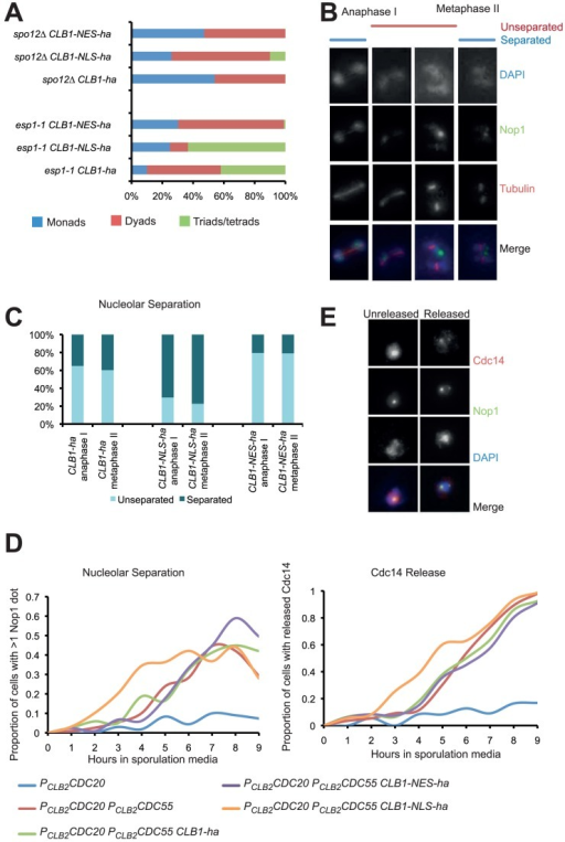 Increased nuclear localization of Clb1 promotes FEAR activation during meiosis.A) Diploid CLB1, CLB1-NES and CLB1-NLS strains bearing spo12Δ and esp1-1 or their wild type alleles were allowed to sporulate. Percentage of cells forming dyads, tetrads and monads were calculated after 48 h. B) Cultures of CLB1-ha PDS1-myc18, CLB1-NES-ha PDS1-myc18, and CLB1-NLS-ha PDS1-myc18 cells were induced to enter meiosis by transferring them to SPM. Nucleolar separation in cells containing anaphase I and metaphase II spindles was assayed by immunofluorescence. Representative images of cells are shown on the right. C) Data obtained in B are presented graphically. D) Nucleolar separation and nucleolar release of Cdc14 in the sporulating cultures of PCLB2CDC20 (blue), PCLB2CDC20 PCLB2CDC55 (red), PCLB2CDC20 PCLB2CDC55 CLB1-ha (green), PCLB2CDC20 PCLB2CDC55 CLB1-NES-ha (purple) and PCLB2CDC20 PCLB2CDC55 CLB1-NLS-ha (orange) strains were assayed by immunofluorescence and the data are graphically presented. E) Sample images of cells with nucleolar Cdc14 or Cdc14 released are shown on the right.