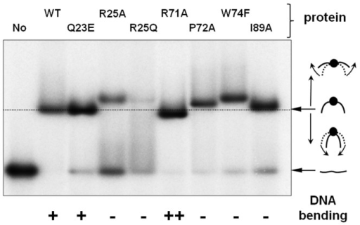 DNA bending ability of the WT and mutant MC1 proteins evaluated by EMSA.EMSA experiment was performed as described for KDapp measurement: 0.1 nM of 5′-[32P]-labeled 26 bp DNA were incubated with the WT or mutant MC1 protein (at 20 nM final concentration, excepting R25A and R25Q mutant versions for which 100 nM was used). At equilibrium, assays were analyzed by EMSA as described in the Materials & Methods section. After 3 hours of electrophoresis, the gel was dried and visualized by autoradiography. The relative electrophoretic mobility of the protein/DNA complex provides an evaluation of the bending ability of the MC1 version considered. With this short DNA duplex, an apparent greater mobility of the nucleoprotein complex is expected for a protein with a greater DNA bending.