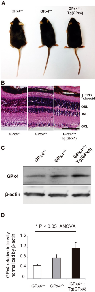 GPx4 expression in RPE/choroid.(A) Similar appearance of GPx4+/−, GPx4+/+ and GPx4+/+:Tg (GPx4) mice at 3 months of age expressing different levels of GPx4. (B) Hematoxylin-eosin staining of the retina and RPE/choroid of the mice expressing different levels of GPx4. (ONL; outer nuclear layer, INL; inner nuclear layer, GCL; ganglionar cells layer, Scale bar; 30 µm). (C) Western blot analysis of β-actin and GPx4 protein expression in the RPE/choroid. (D) Statistical evaluation for the comparative difference in GPx4 protein in RPE/choroid (mean±SEM, n = 5)