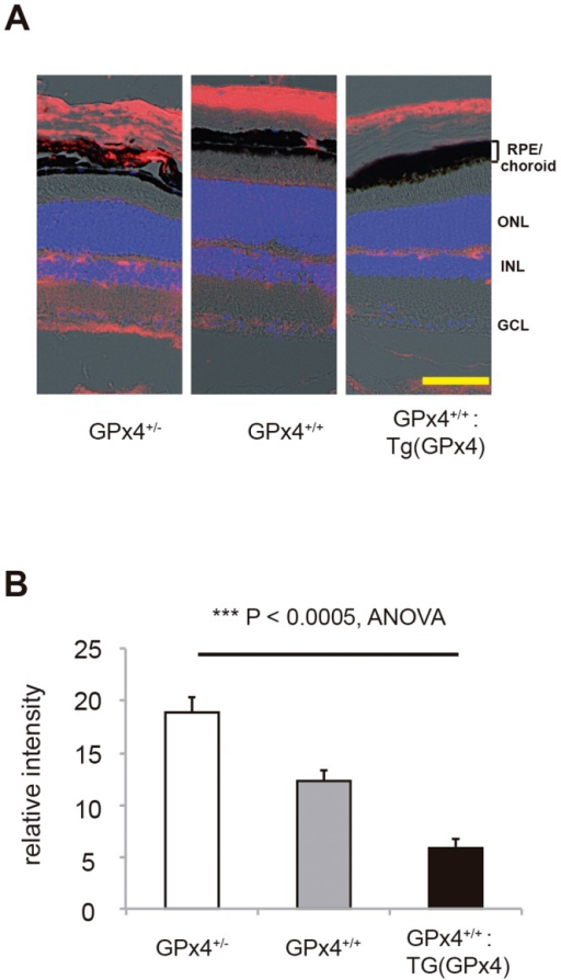 Accumulation of peroxidized lipid.(A) Immunoreactivity to 4-hydroxi-2-neonenal (4-HNE, red) in the retina and RPE/choroid of mice expressing different levels of GPx4. Nuclei was counterstained with 4,6-diamidino-2-phenylindole (DAPI, blue). Scale bar, 30 µm. (B) Statistical evaluation of the immunofluorescence for 4-HNE in RPE/choroid (mean±SEM, n = 4).