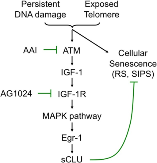 A model of the signaling pathway that mediates sCLU induction during senescence showing the role of sCLU in senescence compared to IGF-1/IGF-1R signaling required to prevent apoptosis.AAI and AG1024 are small molecule chemical inhibitors that inhibit ATM and ATR, and IGF-1 tyrosine kinase receptor (IGF-1R), respectively.