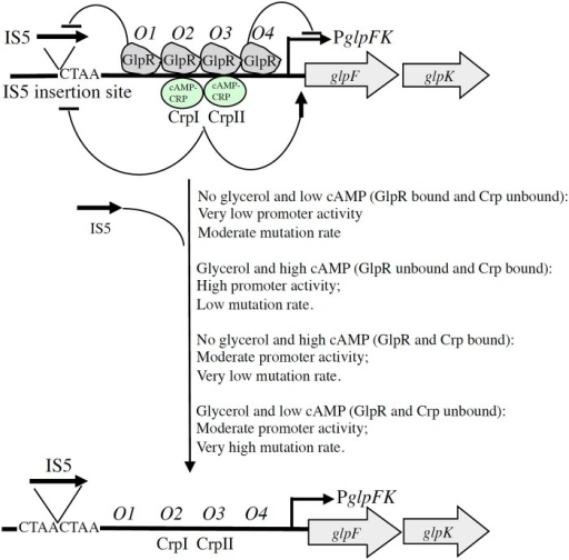 Schematic diagram illustrating dual GlpR-mediated/cAMP-CRP-mediated control of (right) the level of glpFK transcription and (left) the rate of IS5 hopping into the activating site upstream of the glpFK promoter (directed mutation). With GlpR bound to its operators (O1–O4) (in the presence of GlpR and the absence of glycerol), transcription and IS5 hopping both occur at low rates. When GlpR is not bound to its operators (in the absence of GlpR or in the presence of glycerol), both transcriptional initiation and IS5 hopping increase about 10×. Binding of GlpR to operator O1 preferentially blocks IS5 insertion, while binding of GlpR to operator O4 preferentially blocks transcription as indicated. Binding of cAMP-CRP to its transcriptional activating sites, CrpI and CrpII, similarly inhibits IS5 hopping even though binding of this complex promotes glpFK transcription. Glucose inhibits IS5 insertion by a mechanism independent of glycerol, GlpR, cAMP, and CRP. (, activation; , inhibition or repression).