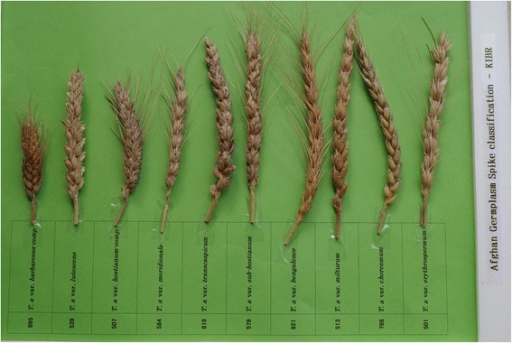 Classification of spikes in Afghan wheat landraces. The germplasm number and botanical variety for each landrace are mentioned in the attached label. Although a total of 19 botanical varieties were identified, only those showing clear variation are shown here.