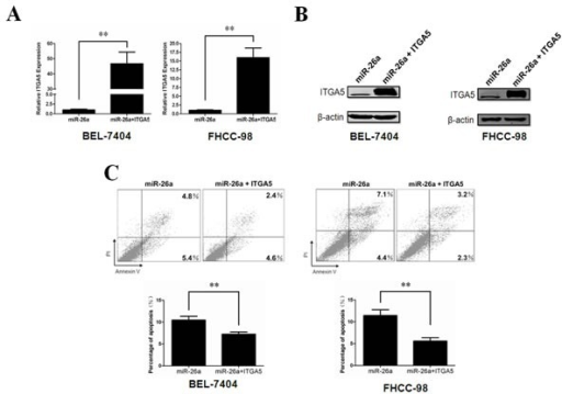 ITGA5 over-expression rescues phenotypes induced by miR-26a(A, B) Relative ITGA5 expression levels in BEL-7404(left) and FHCC-98(right) cells stably expressing ITGA5 were determined by qRT-PCR(A) and western blot(B). (C) The anoikis activity of ITGA5 stably over-expressed HCC cell lines was evaluated by Annexin-V/PI staining. Cells (1×106) were cultured for 48 h in poly-HEMA pre-coated plates before evaluation. **, P < 0.01. Error bars, s.d. (experiments depicted in A&C performed in triplicate).