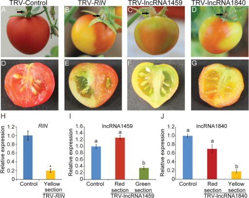 Silencing of novel intergenic lncRNAs delayed the ripening of fruits. After 2 or 3 weeks, tomato fruits infiltrated with TRV-RIN (B), TRV-lncRNA1459 (C), and TRV-lncRNA1840 (D) showed partial ripening compared with TRV control tomato fruit (A). Black arrows indicated the sites of injection on the carpopodium of tomato fruits. (D–G) Close up of TRV control, RIN silenced, lncRNA1459 silenced, and lncRNA1840 silenced fruits, respectively. (H) qRT–PCR analysis of RIN transcript in TRV control and TRV-RIN tomato fruits (yellow sections). (I) qRT–PCR analysis of lncRNA1459 transcript in TRV control and TRV-lncRNA1459 tomato fruits (red and green sections). (J) qRT–PCR analysis of lncRNA1840 transcript in TRV control and TRV-lncRNA1840 tomato fruits (red and yellow sections). Actin expression values were used for internal reference. The relative level of lncRNA transcripts was normalized to that in TRV control plants where the amount was arbitrarily assigned a value of 1. Error bars indicate ±SD of three biological replicates, each measured in triplicate. Data in columns with different letters are statistically different according to Duncan's multiple range test at P<0.01. Asterisks indicate a significant difference as determined by Student's t-test (*P<0.01).