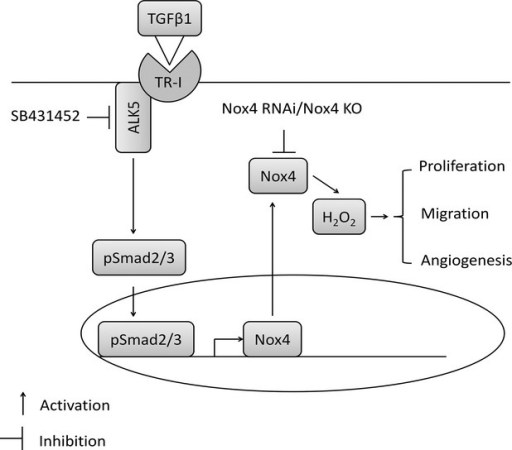 A diagram showing the potential mechanism of transforming growth factor-β1-induced Smad2/3 signalling pathway which may be involved in Nox4 up-regulation and angiogenesis.
