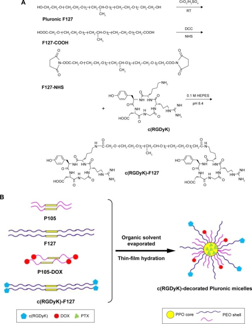 The schematic illustration of the c(RGDyK)-F127 synthesis and the preparation of c(RGDyK)-decorated Pluronic micelles loaded with DOX and PTX.Notes: (A) Synthesis of c(RGDyK)-decorated Pluronic F127; (B) Schematic representation of the fabrication of c(RGDyK)-decorated Pluronic micelles loaded with DOX and PTX.Abbreviations: c(RGDyK), cyclic RGD peptide; RGD, arginine-glycine-aspartic acid; DOX, doxorubicin; PTX, paclitaxel; RT, room temperature; DCC, dicyclohexyl-carbodiimide; NHS, N-hydroxysuccinimide.