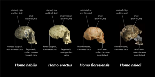 Comparison of skull features of Homo naledi and other early human species.Replica crania of (left to right) Homo habilis (KNM-ER 1813, Koobi Fora, Kenya ∼1.8 million years old), an early Homo erectus (D2700, Dmanisi, Georgia ∼1.8 million years old) and Homo floresiensis (Liang Bua 1, Indonesia ∼20,000 years old) are compared with actual fragments of cranial material of H. naledi that have been overlaid on a virtual reconstruction (far right; note some of the images of H. naledi material have been reversed). In each case, the crania are labelled with the typical features of each species. For example, while the adult brain volume of modern humans (Homo sapiens) is typically between 1000 and 1500 cubic centimetres (cc), H. habilis ranged from about 510 to >700 cc, H. erectus from about 550 to >1100 cc, H. floresiensis about 426 cc, and H. naledi between 466 and 560 cc. Furthermore, in modern humans, the occipital bone (at the back of the skull) is typically evenly rounded in profile, whereas in some early humans such as H. erectus, the upper and lower portions of the occipital are sharply angled to each other (i.e., 'flexed'), and there is a strong ridge of bone running across the angulated region (called a transverse torus).