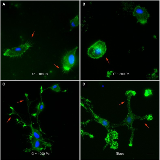 Microglia morphology depends on substrate stiffness. (A–D) Representative fluorescence images of microglial cells on substrates of different stiffness. F-actin appears in green, nuclei in blue. (A) On substrates of G′ ~ 100 Pa, microglial cells showed many filopodia-like processes (red arrows). (B) On stiffer substrates (G′ ~ 300 Pa), they showed amoeboid morphologies (red arrow) with significantly fewer processes (p < 0.05, Mann-Whitney U-test). (C,D) On 1000 Pa substrates and on glass, microglial cells had complex morphologies with lamellipodia-like structures at the tips of long processes (red arrows). Scale bar: 10 μm.