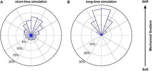 Simulated biased random walk of microglial cells migrating on a mechanical gradient. (A) Simulation for 228 cells (6 times as many as in our experiments) with a migration time distribution matching that of the experiments. Microglia were similarly biased toward the stiffer side of the substrate as found in the experiments (p > 0.1, Kuiper's test). (B) Simulation for 1000 cells migrating 1000 min. On longer time scales, cells showed a robust migration toward the stiffer side of the gradient (p < 0.01, Kuiper's test).