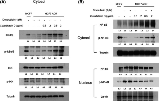 Cucurbitacin D inhibits NF-κB signaling in MCF7/ADR cells. MCF7/ADR cells were treated with cucurbitacin D (0.5, 2 μg/mL) in the presence and absence of doxorubicin (1 μM). Nuclear and cytosolic extracts of cultured cells were then prepared and analyzed by Western blot to measure NF-κB levels