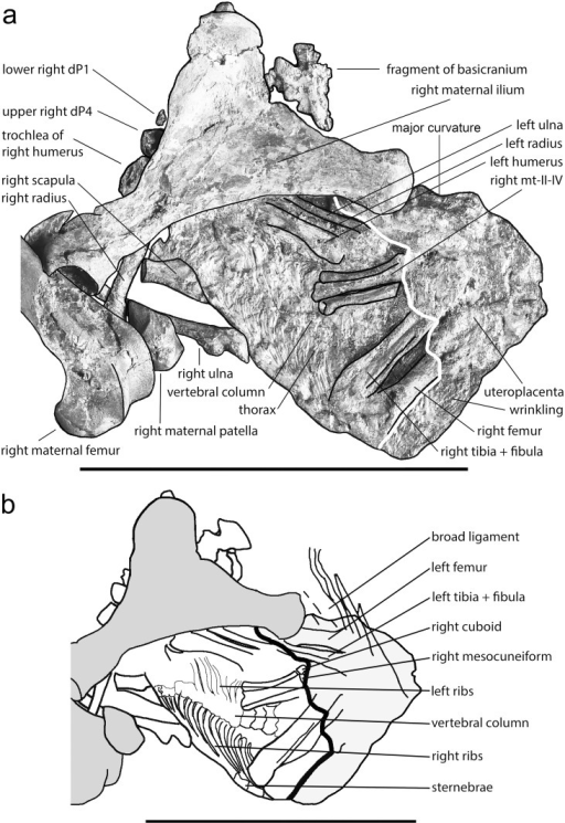 a) Line drawing of the exposed side of the fetus of Eurohippus messelensis based on a reduced-contrast photo as background. Bones of the mare (black) are shown for orientation. Notice the presence of the uteroplacenta as indicated by a fine wrinkling lateral of the right femur, covering a large part of the fetus. The white line distinguishes the uteroplacenta on the right side from the exposed bones on the left. dP1 = first lower deciduous premolar of the right side, dP4 = last upper deciduous premolar of the right side.—Photo: Senckenberg Forschungsinstitut Frankfurt, Sven Tränkner; line drawing: Jens Lorenz Franzen. b) Line drawing of the skeleton of the fetus and adjacent bones of the mare based on a micro-x-ray (Fig 4). The outline of the uteroplacenta is taken from Fig 3a. Dark grey are the bones of the mares, white those of the fetus. Light grey is the uteroplacenta. Lettering is in Fig 3a except for a few bones and the broad ligament, which are only identifiable on the micro-x-ray (Fig 3b). Scale of a and b = 10 cm.–Micro-x-ray: Senckenberg Forschungsinstitut Frankfurt, Jörg Habersetzer; line drawing: Jens Lorenz Franzen.