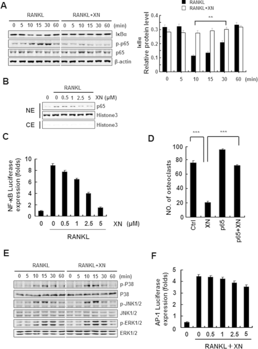 XN suppresses RANKL-induced NF-κB signaling pathway, but has little effect on MAPK/AP-1 signaling.(A) The effect of XN on RANKL-induced IκBα degradation and p65 phorsphorylation. RAW264.7 cells were pretreated with XN (5 μM) for 3 hours, and then stimulated with RANKL (30 ng/ml) for indicated time. The degradation of IκBα and the phosphorylation of p65 were tested by Western blot analysis (left). The Western blot were performed in triplicate. The IκBα protein level (with β-actin for normalization) were quantified by Quantity One software (right). (B) The effect of XN on RANKL-induced p65 nuclear translocation. RAW264.7 cells were pretreated with different doses of XN for 3 hours, and then stimulated with RANKL for 20 minutes. Cell Nuclear Extracts (NE) and Cytoplasmic Extract (CE) were collected and subjected to Western blot analysis with the indicated antibodies. (C) The effect of XN on RANKL-induced activity of NF-κB. RAW264.7 cells were co-transfected with NF-κB-luciferase reporter gene and Renilla gene. After 48 hours, the cells were treated with RANKL and indicated concentrations of XN for another 24 hours. Cell extracts were collected and luciferase activity was measured. (D) NF-κB (p65) prevents the inhibitory effect of XN in RANKL-induced osteoclast differentiation. RAW264.7 cells were transfected with p65 or control plasmids, and then incubated with or without XN (5 μM) in the presence of RANKL (30 ng/ml). After 4 days, the cells were stained for TRAP activity and the numbers of osteoclasts were counted. (E) XN has little effect on RANKL-induced phosphorylation of MAPKs. BMMs were cultured in the presence of XN (5 μM) for 4 hours, and then RANKL was stimulated at the indicated time points. Cell lysates were extracted for Western blot analysis with indicated antibodies. (F) XN has little effect on the activity of AP-1 induced by RANKL. RAW264.7 cells were co-transfected with AP-1-luciferase reporter gene and Renilla gene. After 48 hours, the cells were treated with RANKL and indicated concentrations of XN for another 24 hours. Cell extracts were collected and luciferase activity was measured. Column, means of experiments conducted in triplicate; bar, SD. *p < 0.05, **p < 0.01, ***p < 0.001.