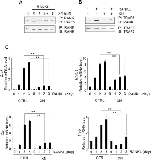 XN represses the association of RANK and TRAF6, and abrogates osteoclastogenesis-related gene expression.(A,B) XN suppressed the RANKL-induced binding of RANK and TRAF6. The RAW264.7 cells were pretreated with indicated concentration of XN for 4 hours then stimulated with RANKL (30 ng/ml) for another 20 minutes. The cell lysate were harvest and immunoprecipitated with antibody to RANK and then blotted with anti-TRAF6 (A). Or the cell lysates were immunoprecipitated with antibody to TRAF6 and then blotted with anti-RANK (B). (C) XN inhibits the mRNA levels of NFATc1, cathepsin K (CtsK), CTR and TRAP induced by RANKL. Mouse BMMs were incubated with XN (5 μM) and RANKL (30 ng/mg) for indicate day. Total RNA was collected and analyzed by Real time-PCR. Column, means of experiments performed in triplicate; bar, SD. **p < 0.01.