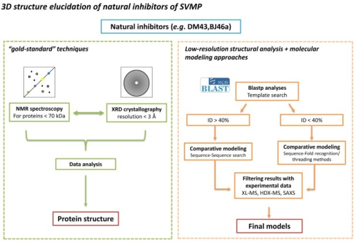 "Strategies for a structural view of SVMPIs. (Left) The experimental methods for structure determination, NMR spectroscopy and XRD crystallography, are the ""gold-standard"" techniques in protein structure elucidation, providing atomic resolution of individual proteins and their complexes. The SVMPIs DM43 and BJ46a represent a challenge for these techniques. For NMR spectroscopy, due to the molecular size of both molecules, costly and time-consuming methods for sample labeling and analysis are required. For XRD crystallography, crystals of DM43 produced low-resolution diffraction pattern while BJ46a could not be crystallized, highlighting the limiting character of the crystallization step. Hence, modeling becomes an important tool for the structural studies of these molecules. (Right) In molecular modeling, the main step is the identification of a homologous protein, whose experimental structure has already been determined, to be used as a template structure. The identification in structure databases of sequences evolutionarily correlated with sequential identity greater than 40% is done by standard pairwise sequence search methods, allowing the generation of high accuracy models. However, below this sequence identity threshold the correlation between two structures is difficult to address. In this range, sequences are correlated directly with proteins of known structure (fold recognition). A drawback is that, due to the low evolutionary correlation and the low sensitivity in the sequence alignment building, the accuracy of the produced models is lower. On the other hand, the ensemble of models produced can be filtered according to their agreement with experimental data. In our proposed strategy, these data would come from XL-MS, HDX-MS and SAXS assays, leading to the selection of accurate models, and shedding some light on the three-dimensional structural characteristics of these SVMPIs. Consequently, the molecular basis of the interaction between the inhibitors and their target toxins could be established."