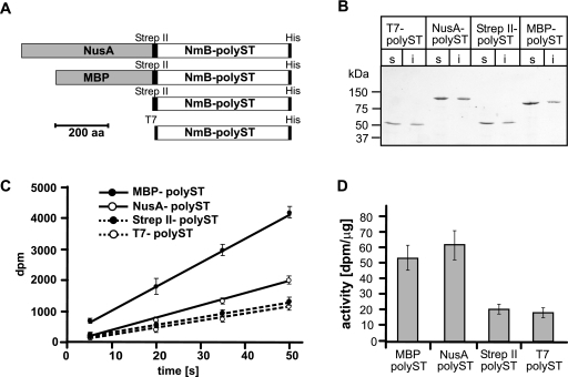 Influence of N-terminal fusion tags on NmB-polyST expression and activity. A. Schematic representation of NmB-polyST fusion proteins. NmB-polyST is shown as white box while short epitope tags (His, T7, Strep II) and large fusion partners (MBP, NusA) are given as black and grey boxes respectively. The length of the black ruler represents 200 amino acids. B. Western blot analysis of NmB-polyST fusion proteins. Proteins were expressed in E. coli BL21(DE3) and equal amounts of soluble (s) and insoluble (i) fractions were separated by SDS-PAGE. C-terminally epitope-tagged fusion proteins were detected by Western blot analysis with anti-His-tag antibody. C. Enzymatic activity of NmB-polyST fusion proteins in the soluble fractions. PolyST activity was analysed using the radiochemical activity assay. Reactions were incubated at room temperature and aliquots were assayed for radiolabelled polySia at the indicated time points. Each value represents the average of three independent determinations with the standard deviation indicated. D. Specific activities of NmB-polyST fusion proteins were standardized by NmB-polyST expression levels, which were determined by immunoblotting and infrared fluorescence detection.