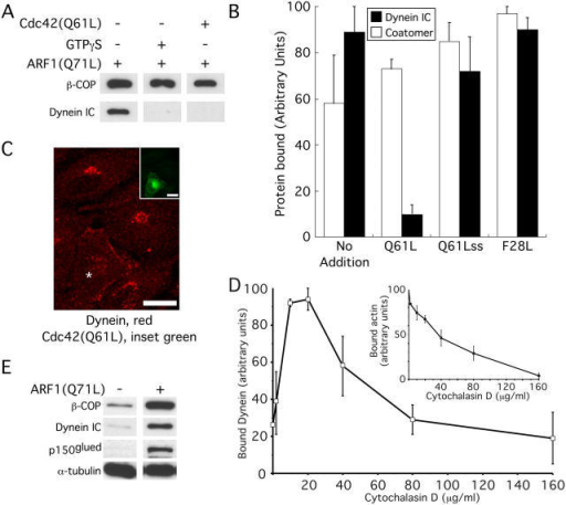 Cdc42 and actin affect dynein localization. (A) A Western blot of COPI-vesicle–enriched fractions isolated by flotation from Golgi-budding reactions was probed with the indicated antibodies. Incubations were performed in the presence of 25 μg/ml ARF1(Q71L), 20 μg/ml Cdc42(Q61L), and GTPγS as indicated. (B) Plotted are the average levels of dynein and coatomer found in the COPI-vesicle enriched fraction isolated as in A. 20 μg/ml of recombinant mutant Cdc42 proteins were added as indicated. The error bars represent the SEM (n = 3). (C) NRK cells that had been transfected (asterisk) with GFP-Cdc42(Q61L) (inset image) were labeled with an antibody against the dynein light chain (red). Bars, 20 μm. (D) Golgi-binding assays were used to determine the levels of bound dynein and actin (inset, graph) at various concentrations of cytochalasin D. The error bars represent the SEM (n = 3). (E) A Golgi-binding assay were performed adding ARF1(Q71L) when indicated and probed with the indicated antibodies.