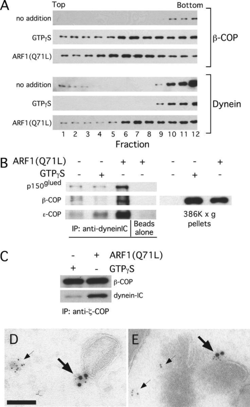 Dynein is recruited to COPI vesicles. (A) Vesicle extracts from budding reactions performed with GTPγS or ARF1(Q71L) were fractionated on a sucrose gradient. Shown are immunoblots of the fractions probed as indicated. (B) Shown is a blot of proteins precipitated with the anti-dynein IC antibody from a vesicle extract. Coatomer levels were determined using anti–ɛ-COP and anti–β-COP. Dynein levels were inferred using anti-p150glued. The blot on the left indicates the total amount of COPI vesicles in the extract isolated by sedimentation. (C) Vesicles were precipitated with the anti–ζ-COP antibody as in B. The amounts of coatomer and dynein were determined by probing immunoblots with the appropriate antibodies. (D and E) Cryosections were taken from Vero cells and decorated with anti–ɛ-COP, large gold particles, and anti-dynein IC, small gold particles. The large arrows indicate structures labeled with both antibodies and the small arrows indicate structures labeled only with anti-dynein. Bar, 300 nm.