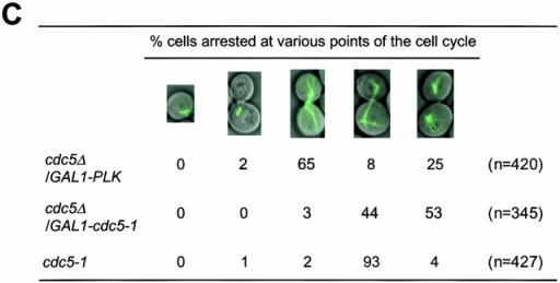 Cells depleted of Plk or cdc5-1 protein arrest at multiple points of M phase. (A) Growth of cdc5Δ mutant conditionally rescued by expressing either GAL1-HA-EGFP-PLK (KLY1046) or GAL1-HA-EGFP-cdc5-1 (KLY1047). Strains were streaked onto either YEP-galactose or YEP-glucose, and incubated for 3 d at 30°C. As a comparison, an isogenic wild-type strain, 1783, was also streaked. Wild-type, 1783 strain; GAL1-PLK, strain KLY1046;GAL1-cdc5-1, strain KLY1047. (B) Depletion of Plk or cdc5-1 protein revealed a large fraction of large-budded cells with disassembled spindles. Strains KLY1046 and KLY1047 growing exponentially in YEP-galactose medium were transferred into YEP-glucose to deplete Plk and cdc5-1 proteins. Upon transfer, samples were taken to analyze the levels of HA-EGFP-Plk and HA-EGFP-cdc5-1 proteins using an anti–HA antibody. Due to an apparent cell lysis phenotype after a prolonged incubation at the restricted temperature, cells were not taken beyond the last indicated time point. At the indicated time points, cells were harvested to determine chromosomal structures with DAPI staining. The same samples were used to examine spindle structures by GFP-tubulin fluorescent signals. Strain KLY1047, but not KLY1046, has accumulated a significant number of cells with elongated spindles (see text). (C) Terminal phenotypes of cdc5Δ or cdc5-1 cells. To determine terminal arresting phenotypes associated with depletion of Plk or cdc5-1 protein, strain KLY1046 was depleted of Plk for 10 h, whereas KLY1047 cells were depleted of cdc5-1 protein for 4 h. Cells arrested at different phases of the cell cycle were scored based on the spindle morphologies. Numbers shown are the average of two independent experiments. (D) Terminal morphology of the cdc5-1 mutant expressing TUB1-GFP (KLY1253), YFP-CDC3 (KLY 1260), CYK2-GFP (KLY1256), or MYO1-GFP (KLY1258). The cdc5-1 cells growing exponentially at 23°C were shifted to 35°C and cultured for an additional 3.5 h. Cells were fixed with 3.7% formaldehyde and harvested to examine the terminal arrest phenotype. The cdc5-1 mutant arrests as large-budded cells with two Cyk2-GFP rings and elongated spindles. Arrows in Tub1 indicate weakly visible elongated spindles, whereas the barbed arrows in Myo1 indicate Myo1-GFP localized at the future budding site. Bar: 5 μm.