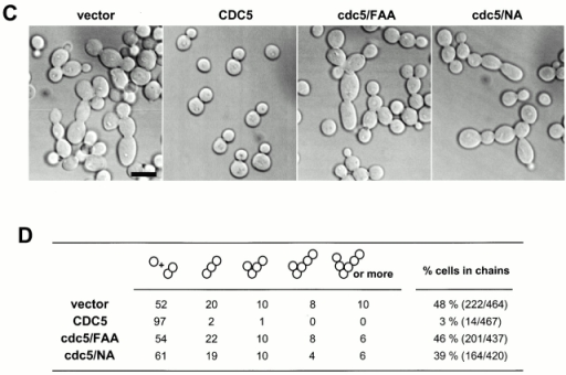 Overexpression of cdc5ΔN, but not the FAA polo-box mutant (Song et al. 2000), induces a dominant-negative, connected cell morphology. (A) 1,783 (MATa EG123) cells overexpressing either control EGFP (KLY1080), EGFP-cdc5ΔN (KLY1082), or EGFP-cdc5ΔN/FAA (KLY1081) were cultured under the induction conditions for 12 h. Cells were fixed and examined using confocal microscopy. A similar chained cell phenotype was also observed in a W303-1A and S288C genetic background (data not shown). DIC, differential interference contrast; EGFP, EGFP-fusion proteins expressed; control, strain KLY1080; cdc5ΔN, strain KLY1082; cdc5ΔN/FAA, strain KLY1081. Bar: 5 μm. (B) The FAA mutations in the polo-box do not influence the level of cdc5ΔN expression. An equal amount (30 μg) of cell lysate prepared from various strains shown in A was loaded onto each lane. Control, strain 1080; cdc5ΔN, strain 1082; cdc5ΔN/FAA, strain 1081; EGFP-cdc5ΔN, EGFP-fused cdc5ΔN proteins expressed; EGFP, control EGFP lacking Cdc5. Cdc28 protein serves as a loading control for each lane. (C) Introduction of wild-type CDC5 in a low copy centromeric plasmid, but not the cdc5/FAA or the kinase-inactive cdc5/NA (Hardy and Pautz 1996), remedy the chained cell morphology induced by overexpression of cdc5ΔN. Strain KLY1082 transformed with various CDC5 constructs were cultured in YEP-glucose to exponential phase before morphological examination. Vector, YCplac111 vector; CDC5, YCplac111-CDC5; cdc5/FAA, YCplac111-cdc5/W517F/V518A/L530A; cdc5/NA, YCplac111-cdc5/N209A. (D) Quantitation of the reversion of connected cell phenotype by various CDC5 constructs. The same samples shown in C were also counted. Both the kinase activity and an intact polo-box appear to be required for reversing the chained cell morphology.