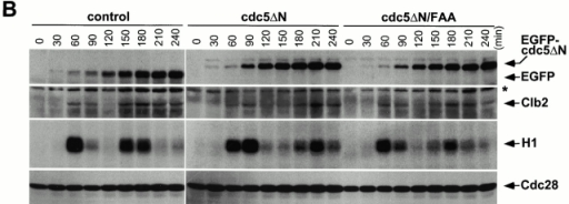 Cdc28/Clb2 activity cycles during the early stages of connected cells. (A) Overexpression of EGFP-cdc5ΔN, but not the corresponding FAA mutant, accumulates cells with a DNA content >2C (G2/M). To carry out flow cytometric analyses, cells expressing control EGFP (KLY1080), EGFP-cdc5ΔN (KLY1083), or EGFP-cdc5ΔN/FAA (KLY1229) were arrested with α-factor in YEP-raffinose for 3 h, washed, and transferred into YEP-galactose medium to an OD600 of 0.05. Samples were taken at the indicated time points, fixed, and subjected to flow cytometry analyses. Strain KLY1083 begins to accumulate cells with a DNA content >2C (120 min) as the first cycle completes, whereas both strains KLY1080 and KLY1299 complete the cell cycle normally. Accumulation of cells with higher DNA contents appears to be the result of induction of connected cells (see text for details). Control, strain KLY1080; cdc5ΔN, strain KLY1083; cdc5ΔN/FAA, strain KLY1229; 1C, 1C DNA content; 2C, 2C DNA content. (B) Cdc28/Clb2 activity appears to fluctuate normally in strain KLY1083 overexpressing EGFP-cdc5ΔN. To examine the cell cycle progression, cellular lysates prepared from the same cells harvested in A were subjected to Western blot analyses to examine changes in Clb2 and EGFP-cdc5ΔN levels upon release from a α-factor arrest. The level of Cdc28 was determined as a loading control for each lane. The same lysates were also used to carry out anti–Clb2 immune complex kinase assays to measure the Clb2-associated histone H1 kinase activities. The cycling Cdc28/Clb2 activities in KLY1083 strain indicate that the apparent G1 arrest (see Fig. 6a and Fig. d) observed with connected cells was not in effect in an early stage of chained cells. Samples beyond 240 min after release were not taken because of a lack of cell cycle synchrony. *Cross-reacting protein in the anti–Clb2 blot. Control, strain KLY1080; cdc5ΔN, strain KLY1083; cdc5ΔN/FAA, strain KLY1229; EGFP-cdc5ΔN, EGFP-fused cdc5ΔN proteins; EGFP, control EGFP lacking Cdc5; H1, histone H1 kinase activity.