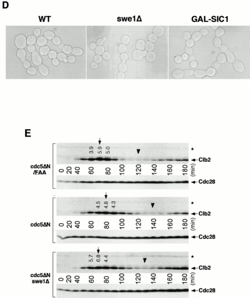 Genetic interactions between a dominant-negative cdc5ΔN mutant and cyk2Δ/myo1ΔΔ. (A) Cyk2 and Myo1 rings are largely normal in the connected cells. Often, the presence of enlarged Myo1 rings (arrows) and contraction size rings (barbed arrows) were also present. Bar: 5 μm. (B) Actin polarizes normally, but fails to relocalize to bud-necks. Strain KLY1083 cultured under the induction conditions for 12 h were fixed and stained with rhodamine-phalloidin and DAPI to visualize actin and nuclei, respectively. Bar: 5 μm. (C) Overexpression of EGFP-cdc5ΔN in cyk2Δ or myo1Δ mutants, but not in cdc10Δ or swe1Δ mutants, results in a synthetic cytokinetic defect. Strain KLY1083 carrying an additional cdc10Δ (KLY1589 and KLY1590) cyk2Δ (KLY1591), myo1Δ (KLY1593), or swe1Δ (KLY1439) mutation was generated. These strains were streaked onto YEP-glucose and YEP-galactose to examine synthetic growth defect with overexpression of EGFP-cdc5ΔN. Since both cdc10Δ and cyk2Δ mutants possess an apparent temperature sensitivity for growth, plates were incubated at 23°C for 4 d before photography. Two independently generated cdc10Δ mutants (KLY1589 and KLY1590) were used to confirm the absence of a synthetic defect with overexpression of EGFP-cdc5ΔN. (D) Introduction of swe1Δ or overexpression of GAL-SIC1 do not influence the chained-cell phenotype induced by overexpression of cdc5ΔN. Typical cell morphologies (DIC images) were shown after culturing strain KLY1083, strain KLY1439, and SKY1779 under the induction conditions for 10 h. The chained-cell phenotypes from these strains were undistinguishable. cdc5ΔN, strain KLY1083 cells; cdc5ΔN swe1Δ, strain KLY1439 cells; cdc5ΔN GAL-SIC1, strain SKY1779 cells. Bar: 5 μm. (E) Introduction of swe1Δ abolishes the cell-cycle delay induced by overexpression of cdc5ΔN. To carry out cell-cycle analyses, cells expressing control EGFP-cdc5ΔN/FAA (KLY1229), EGFP-cdc5ΔN (KLY1083), or EGFP-cdc5ΔN, swe1Δ (KLY1439) were arrested with 5 μg of α-factor in YEP-raffinose for 3 h, washed, and transferred into YEP-galactose medium. Samples were taken at the indicated time points and subjected to Western analyses with an anti–Clb2 antibody. Deletion of swe1 abolishes a septin-checkpoint–dependent cell-cycle delay, but did not influence the chained-cell phenotype induced by overexpression of cdc5ΔN (see text for details). Arrows indicate the time point with maximum Clb2 levels, whereas arrowheads indicate the time point with the lowest level of Clb2. The level of Clb2 and Cdc28 proteins in the indicated lanes were determined using ImageQuant. The numbers are the relative levels (folds) of Clb2 in comparison to the lowest level (arrowheads). *Cross-reacting protein with the anti–Clb2 antibody. cdc5ΔN/FAA, strain KLY1229; cdc5ΔN, strain KLY1083; cdc5ΔN swe1Δ, strain KLY1439.