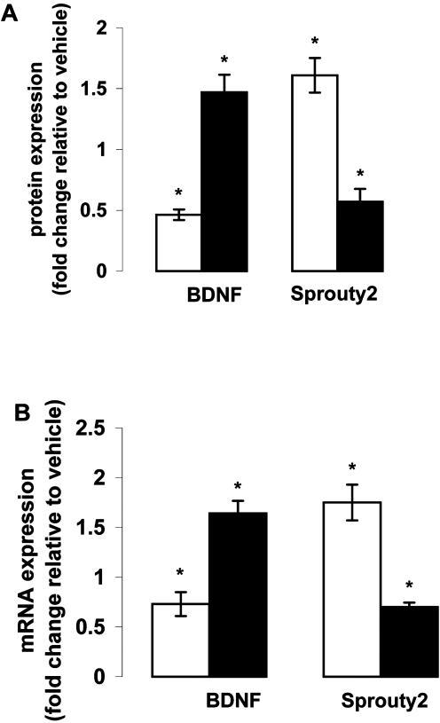 BDNF and Sprouty2 expression in the frontal cortex of rats treated with haloperidol or olanzapine.Adult rats were treated with haloperidol (2 mg/kg) or olanzapine (10 mg/kg) through drinking water for 45 days, and (A) protein and (B) mRNA levels of BDNF and Sprouty2 in frontal cortex were estimated after the treatment. BDNF protein levels were measured by ELISA and Sprouty2 proteins levels were estimated by Western blot analysis. mRNA levels of both BDNF and Sprouty2 were estimated by qRT-PCR analysis. Open bars represent haloperidol-treated rats whereas filled bars represent olanzapine-treated rats. Values are expressed as fold change relative to vehicle-treated rats. *p<0.05, n = 10–12 per group.