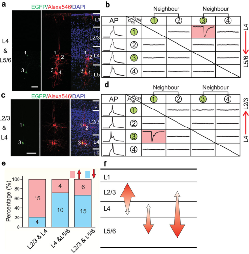 A highly specific microcircuit forms among sister excitatory neurons in ontogenetic radial clones(a–d) Quadruple recording of sister excitatory neurons in individual ontogenetic radial clones located in layer 4 & layer 5/6 (a, b) or layer 2/3 & layer 4 (c, d), and their adjacent non-sister excitatory neurons. See Fig. 3 legend for details. (e, f) Summary of the direction of synaptic connections observed between sister excitatory neurons in individual ontogenetic radial clones. The size of the arrows in f reflects the abundance of the connection.