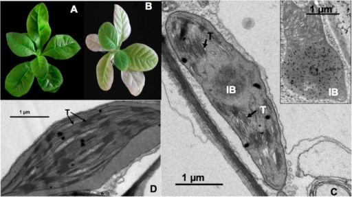 Maize TGZ forms protein inclusions in transplastomic tobacco chloroplasts.A) Aspect of wild type tobacco plant. B) Aspect of tgz-transplastomic tobacco plant. C) TEM image of a tgz-transplastomic tobacco chloroplast. A high number of appressed thylakoid membranes (arrows), membrane interruptions and IB presence are shown. Inside: subcellular immunolocalization of TGZ protein in the IB of a tobacco tgz-transformed chloroplast using an anti-TGZ antibody (1:3000) (see M & M). D) TEM image of a WT tobacco chloroplast showing normal thylakoid membranes and interconnexions. IB, inclusion body; T, thylacoids.