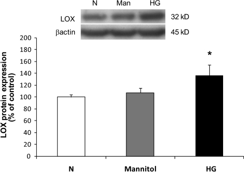 Western blot analysis of LOX protein levels in RRECs grown in normal (N) or HG media. Graph shows that the LOX protein level was significantly upregulated in cells grown in HG medium compared with cells grown in normal (N) medium. Cells exposed to mannitol for 7 days exhibited no change in LOX expression. Data are presented as mean ± SD (*P < 0.005; n = 9).