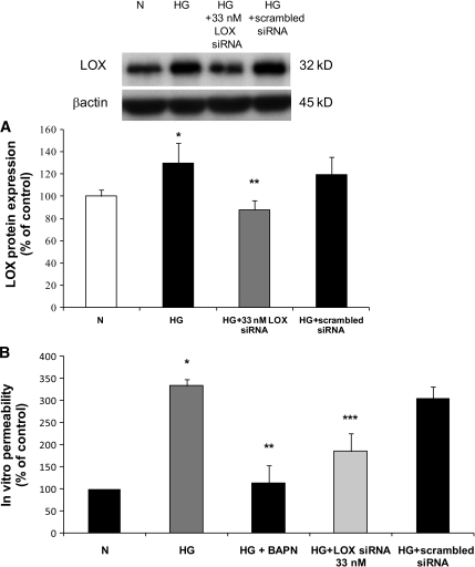 A: Graph shows the effect of LOX siRNA on LOX protein level in RRECs. In cells grown in HG medium and transfected with LOX siRNA, the LOX protein expression was significantly decreased compared with that in cells grown in HG medium and transfected with scrambled siRNA. Data are expressed as mean ± SD (*P < 0.005, **P < 0.05). B: Effect of reduced LOX activity on cell monolayer permeability and effect of reduced LOX expression on cell monolayer permeability. The permeability of FITC-conjugated dextran molecules was significantly decreased to near normal level in cells grown in HG medium after incubation with BAPN compared with RRECs grown in HG. Data are expressed as mean ± SD (*P < 0.05, n = 6; **P < 0.05; n = 6). The permeability of FITC-conjugated dextran molecules was also significantly decreased to near normal level in cells grown in HG medium after transfection with LOX siRNA compared with untransfected RRECs grown in HG. Data are expressed as mean ± SD (***P < 0.005; n = 3). N, normal.