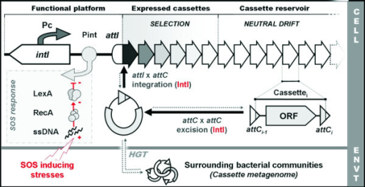 Schematic organization of integrons. The functional platform of integrons is constituted by an intI gene encoding an integrase, its own promoter Pint, a cassette promoter PC, and a primary recombination site attI. The system maintains an array that can consist of more than 200 cassettes. Only the few first cassettes are strongly expressed by the PC promoter, as indicated by the fading fill color. Cassettes generally contain a promoterless open reading frame (ORF) flanked by two recombination sites termed attC. Cassettes can be excised from any position in the array through attC × attC recombination mediated by the integrase. The resulting circular intermediate can then be integrated by the integrase, preferentially at attI. Exogenous circular intermediates can also be integrated, owing to the low specificity of the integrase activity, rendering the system prone to horizontal transfer. The SOS response directly controls the expression of many integron integrases by binding of its repressor protein, LexA, to a target site in the Pint promoter.