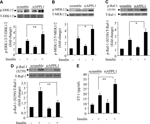 Effects of siRNA-mediated knockdown of APPL1 on insulin-stimulated ERK1/2 MAPK signaling cascades and ET-1 production in HUVECs. Cells were transfected with siRNA specific to APPL1 (siAPPL1) or scrambled control and then treated with insulin (50 nmol/L) for 10 min. Protein (40 μg) from total cell lysates was resolved by SDS-PAGE and probed for total ERK1/2 or phospho-ERK1/2 (A), total MEK1/2 and phospho-MEK1/2 (B), and total Raf-1 and phospho–Raf-1 at either Ser338 (C) or Ser259 (D). ET-1 concentration in the conditioned medium was measured 12 h after insulin treatment (E). T, total; p, phosphorylated. *P < 0.05, **P < 0.01 (n = 5–7).