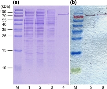 Analysis of Cel01 production and purification by SDS PAGE (a) and Western blot analysis (b). His6-tagged Cel01 was purified from cell extract of E. coli BL21/pCel01 by nickel affinity chromatography. aLanes: M, marker proteins; 1, crude extract of E. coli BL21/pCel01; 2, flow through fraction; 3, wash fraction; 4, eluate (further purified by ultrafiltration); bLanes: M, marker proteins 5, crude extract; 6, purified Cel01