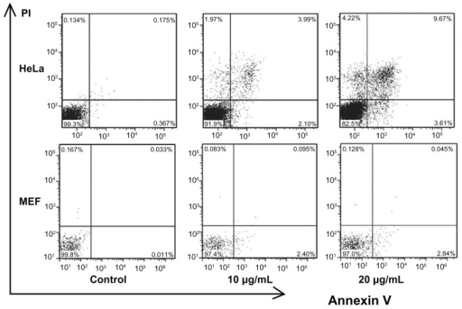 Flow cytometry analysis of HeLa and MEF cells treated with different concentrations of CONPs for 48 hours and then stained with Annexin V and PI.Notes: Significant increases in apoptosis were observed in HeLa cells exposed to the 10 μg/mL and 20 μg/mL CONPs for 48 hours. However, decreased apoptosis was observed in the MEF cells. The upper-left quadrant in each panel shows the necrotic population, the upper-right quadrant shows the late apoptotic population, and the lower-right quadrant shows the early apoptotic population.Abbreviations: CONPs, cuprous oxide nanoparticles; MEF, mouse embryonic fibroblast; PI, propidium iodine.