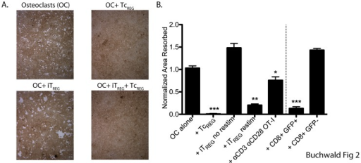TcREG inhibit osteoclast resorption.A. Osteoclasts (day 3) lifted and plated on hydroxyapatite-coated plates. OT-I TcREG or OT-II TGFβ-induced FoxP3+ CD4 T-cells (iTREG) generated in separate dishes were added next day. The co-cultures were re-fed every two days. After seven days, the wells were treated with bleach, photographed, and total pit area was quantified (results in panel B). Representative images from five replicates are shown in panel A. No pitting was observed in the presence of TcREG (top right). Larger pits were observed in the presence of iTREG (bottom left), but TcREG were dominant suppressors (bottom right). B. TcREG suppressed pitting on hydroxyapatite plates without re-stimulation. In contrast, iTREG could only suppress after re-stimulation (see methods for details). IFN-γ producing OT-I T-cells activated by anti-CD3 and anti-CD28 in the presence of IL-2 could partially suppress pitting by osteoclasts. Activated GFP+ CD8 T-cells purified by cell sorting from FoxP3eGFP reporter mice could also suppress osteoclast pitting, while conventional (GFP−) CD8 had no affect on pitting. Statistical significance of area resorbed was assessed by Wilcoxon test: *: P<0.05, **: P<0.01 and ***: P<0.001 relative to osteoclast alone wells.