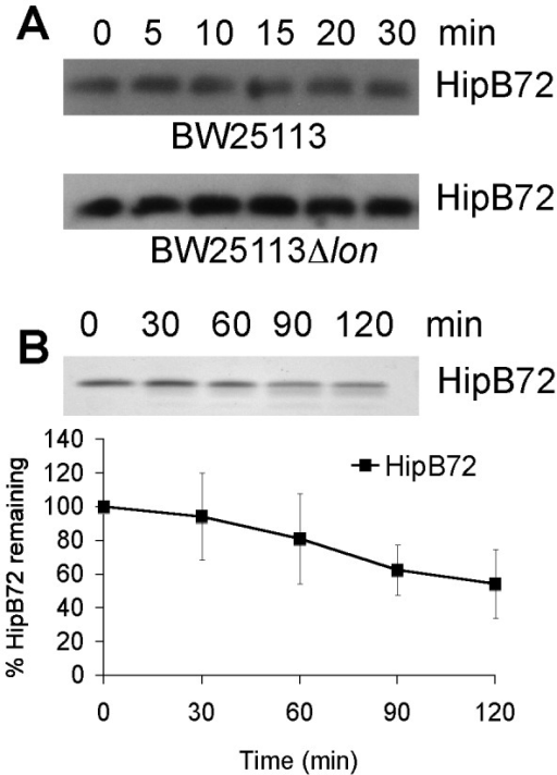 The 16 C-terminal amino acid residues of HipB are required for degradation.(A) Degradation of HipB72 in vivo. HipB72 was expressed from a pBRlacitac promoter in BW25113 (KLE905) and its lon::kan derivate (KLE906). Both strains were grown in LB medium, and at an OD600 of 0.3 1 mM IPTG was added. After 1 h of induction, protein synthesis was inhibited by the addition of 100 µg/ml Cam, and samples for Western blots were removed over the course of 30 min. (B) Degradation of HipB 72 in vitro. His6-HipB72 was purified and added to the Lon degradation assay. At least 3 independent experiments were performed to calculate HipB72 turnover.