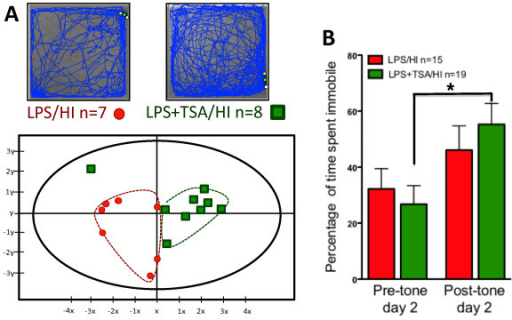 Neonatal trichostatin A (TSA) treatment altered open-field behaviours and improved learning in young adulthood after lipopolysaccharide-sensitised hypoxia-ischaemia (LPS/HI).(A) Representative trace recordings from LPS/HI- and LPS + TSA/HI-treated mice. (B) Output from the multivariate partial least squares discriminant analysis (PLS-DA) of open-field data illustrating significant differences between LPS/HI- and LPS + TSA/HI-treated mice in young adulthood. Each point represents the cumulative value for all behavioural variables for one individual, and red circles represent female LPS/HI. Green squares represent female LPS + TSA/HI. The y-axis is for visualisation purposes only and should not be overinterpreted. The statistics are described further in the Materials and methods section. (C) Trace fear-conditioning data illustrating time spent immobile (frozen) pretone and after exposure to the fear-conditioned stimulus (light and tone) on day 2 (n = 15 to 19). Data are means ± SEM. *P<0.05 by post hoc Student's t-test.
