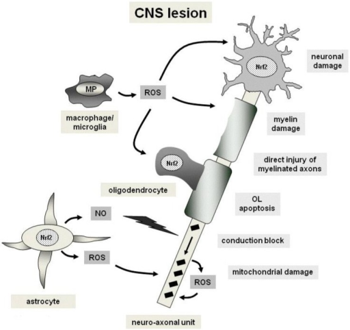 Mechanisms of oxidative injury and cytoprotection in a demyelinating Central Nervous System (CNS) lesion. Free radicals comprise nitric oxide (NO) and reactive oxygen as well as nitrogen species (Reactive Oxygen Species (ROS) or Reactive Nitrogen Species (RNS), respectively) which are mainly produced by macrophages, microglia and astrocytes. ROS and RNS lead to damage of neurons, axons, myelin and oliogdendrocytes (indicated by arrows). This process also may involve mitochondrial damage. Black squares indicate mitochondria which accumulate in injured axons. The cytoptrotective transcription factor Nrf2 is present in neurons, oligodendrocytes and astrocytes as part of the cellular anti-oxidative response. Abbreviations: OL, oligodendrocyte; MP, myeloperoxidase.