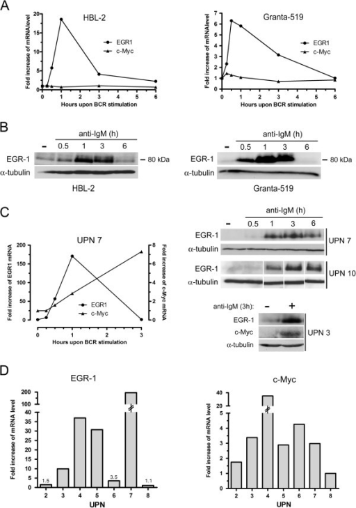 Kinetics of BCR-induced expressions of EGR-1 and c-MYC in MCL cell lines and primary MCL cells. (A) Kinetics of BCR-induced mRNA expression of EGR-1 and c-MYC in Granta-519 and HBL-2 cell lines. 3×106 cells/ml were stimulated with 10 μg/ml of immobilized anti-IgM antibody for 15 min, 30 min, 1 h, 3 h and 6 h. EGR-1 and c-MYC expressions were analyzed by qRT-PCR. (B) Induction of EGR-1 protein upon BCR engagement was confirmed by western-blot. (C) The same experiments were performed on primary patients' cells. EGR-1 and c-MYC expressions were analyzed by qRT-PCR (left panel) and western-blot (right panels). (D) EGR-1 and c-MYC mRNA expressions upon anti-IgM stimulation (1 h) were analyzed by qRT-PCR from 7 patients' samples (UPN2, 3, 4, 5, 6, 7 and 8). Fold increase of mRNA level were calculated compared with unstimulated cells in all experiments. All measurements were done in duplicate and the mean is provided.
