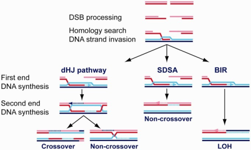 Pathways of homologous recombination involve different modes of DNA synthesis. Homologous recombination (HR) initiates with the common steps of DSB processing, Rad51 nucleofilament assembly, homology search and DNA strand invasion. Following D-loop formation, three different HR pathways are recognized: double Holliday Junction (dHJ), Synthesis-Dependent Strand Annealing (SDSA) and BIR. The initial DNA synthesis is displacement synthesis primed from the 3′-OH end of the invading strand in the D-loop (first end DNA synthesis). There is evidence that this intermediate is already pathway-specific, but it is unclear, how this specification is achieved. In the dHJ pathway, the second end of the DSB is captured by the displaced strand of the D-loop. This second end DNA synthesis does not involve displacement synthesis per se, but after filling the gap may involve displacement synthesis once the extension reaches the 5′-resected end. Likewise in SDSA, after D-loop dissolution and annealing of the extended first strand, the second end synthesis is by a non-displacement mode at least until the gap is filled. In BIR, the requirements are more akin to elongation during replicative DNA synthesis.