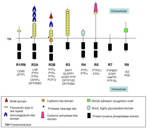 Classification of receptor-like protein tyrosine phosphatases (RPTPs) into eight subfamilies (R1-R8), based on sequence similarity among PTP catalytic domains [3]. PTPμ, κ, ρ and PCP-2 are members of the R2B subfamily.