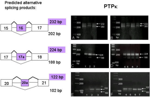 Alternative splicing of PTPκ mRNA. RT-PCR products were amplified using primers flanking exon 16 (panels A and B), exon 17a (panels C and D) and exon 20a (panels E and F). Left panels: bands in lanes 1, 2, and 3 are from human fetal brain, mouse P1 brain, and mouse P60 brain total RNA, respectively. Right panels: bands in lanes 4, 5, 6 and 7 contain total RNA from cerebellum, brain stem, basal forebrain and cortex (P23), respectively. Transcripts containing both splice forms of exons 16 and 20a were found in all lanes.