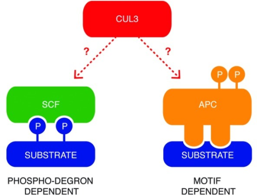 "Figure 1. Two common models of substrates recognition by E3-ligase complexes. SCF ligases interact with the phosphorylated residues on the substrates, which create a so-called ""phosphodegron"". The APC/C complex recognizes specific short motifs within the amino acid sequence of the targeted proteins, and its activity is regulated by phosphorylation. Little is known about mechanisms of substrate targeting by CUL3-based E3-ligases."