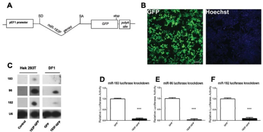 Plasmid containing miR-183 family and the GFP gene produces functional miRNAs and GFP protein in HEK293T cells. (A) Vector design of p183F-GFP; (B) Visualization of GFP in cells transfected with p183F-GFP. Scale bar = 100 microns; (C) The miR-183 family is expressed from p183F-GFP in mammalian and avian cells. Cells transfected with p183F-GFP showed expression of mature miR-183, -96, and -182. Control (untransfected cells) and pGFP transfected cells exhibit no detectable miRNA. U6 levels serve as the loading control; (D–F) Luciferase activity is decreased by expression of miRNAs from p183F-GFP expressing vector; (D) Cells co-transfected with p183F-GFP and the psiCHECK-2 reporter containing sites complementary to miR-183 show a significant decrease in luciferase activity compared to cells co-transfected with the pGFP and reporter; (E) and (F) show results of experiments similar to (D) except the reporter contained different complementary binding sites: 96 for (E) and 182 for (F). Each bar represents mean (±standard error) for each group. Each experiment was replicated at least three times. *p < 0.05, **p < 0.005, ***p < 0.0001.