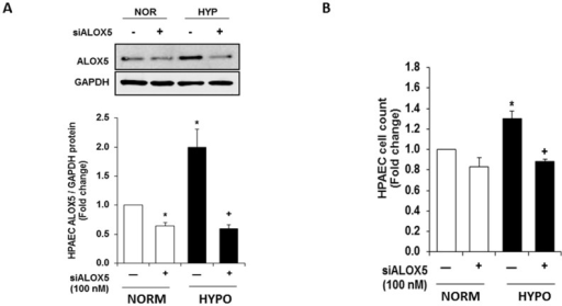 ALOX5 gene silencing prevents hypoxia-induced endothelial cell proliferation.HPAEC transfected with scrambled- and ALOX5-siRNA were exposed to normoxic or hypoxic conditions for 72 hours. Following exposure, cells were collected for ALOX5 expression analysis. Transfection with ALOX5 siRNA produces a 1.5 fold decrease in ALOX5 protein expression following hypoxia exposure (A, n = 5). Proliferation of control and transfected cells was also assessed following 72-hour exposure to normoxic and hypoxic conditions. ALOX5 gene silencing prevents endothelial cell proliferation during chronic hypoxia exposure (B, n = 5). Values are expressed as fold change. * p<0.01 when compared to normoxic groups, ** p<0.05 when compared to hypoxic controls.