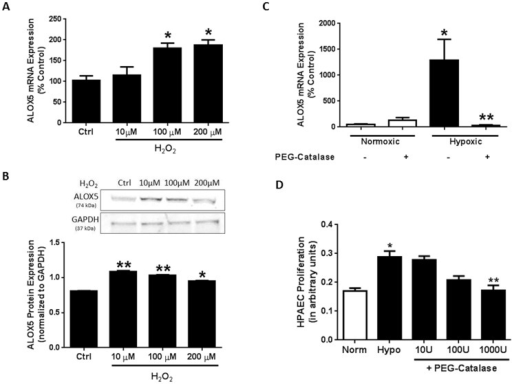 ROS mediate hypoxia-induced increases in endothelial ALOX5 expression and cell proliferation.Human pulmonary artery endothelial cells (HPAEC) were exposed to 0, 10, 100, and 200 µM hydrogen peroxide (H2O2) for 24 hours. Following exposure, supernatants were collected to assess cell toxicity by adenylate kinase release. Results demonstrate no significant changes in cell death as indicated by adenylate kinase release (n = 4–6; data not shown). HPAEC were collected and total RNA was isolated for quantitative real-time PCR gene expression analysis. ALOX5 was normalized to the housekeeping gene β-globin. Relative expression was calculated using the Delta-Delta CT method and values were expressed as percent of control (A, n = 4–5). * p<0.05 when compared to untreated controls. H2O2 exposure stimulates HPAEC ALOX5 protein levels as analyzed by western blot (B, n = 4). PEG-Catalase (10U - 1000 U/ml) administration during the final 24 hours of the 72 hour hypoxia exposure prevents hypoxia-induced elevations in endothelial ALOX5 expression (C, n = 5) and cell proliferation (D, n = 6). * p<0.01 when compared to normoxic groups. ** p<0.05 when compared to untreated hypoxia controls.